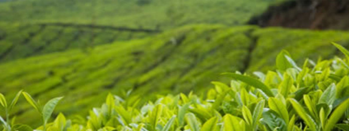 DoMatcha Tea Fields in Kagoshima, Japan | Photo courtesy of Gislinde Bronson